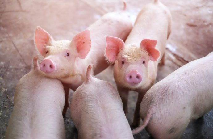 Żywienie świń a jakość mięsa wieprzowego
