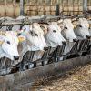 O czym należy pamiętać, stosując enzymy paszowe w masowej hodowli zwierząt? – poradnik